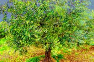 Olivenbaum im Mistral (c) Michael Kneffel
