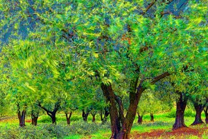 Olivenbäume im Mistral (c) Michael Kneffel