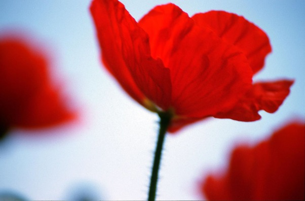 roter Mohn © Michael Kneffel
