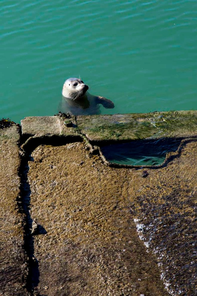 Seehund im Innenhafen Dünkirchens  © Michael Kneffel